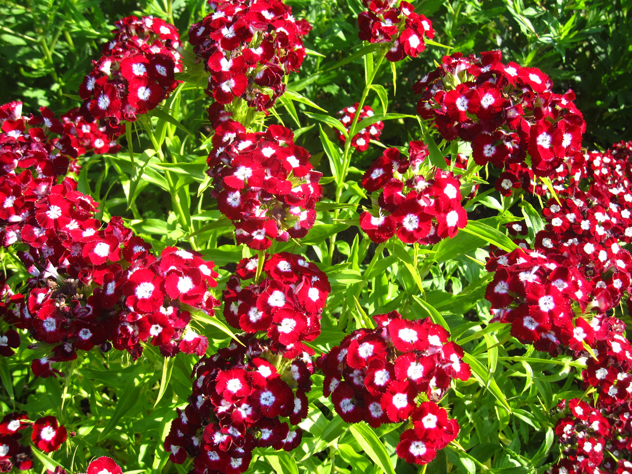 Многолетние цветы для Урала и Сибири (55 фото. - m) 13