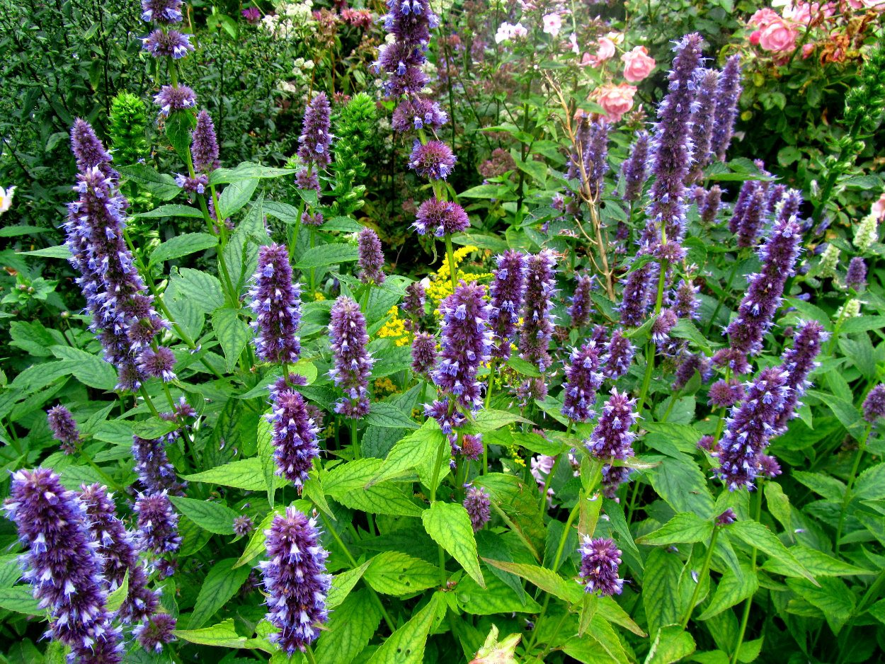 giant hyssop blue fortune - photo #31
