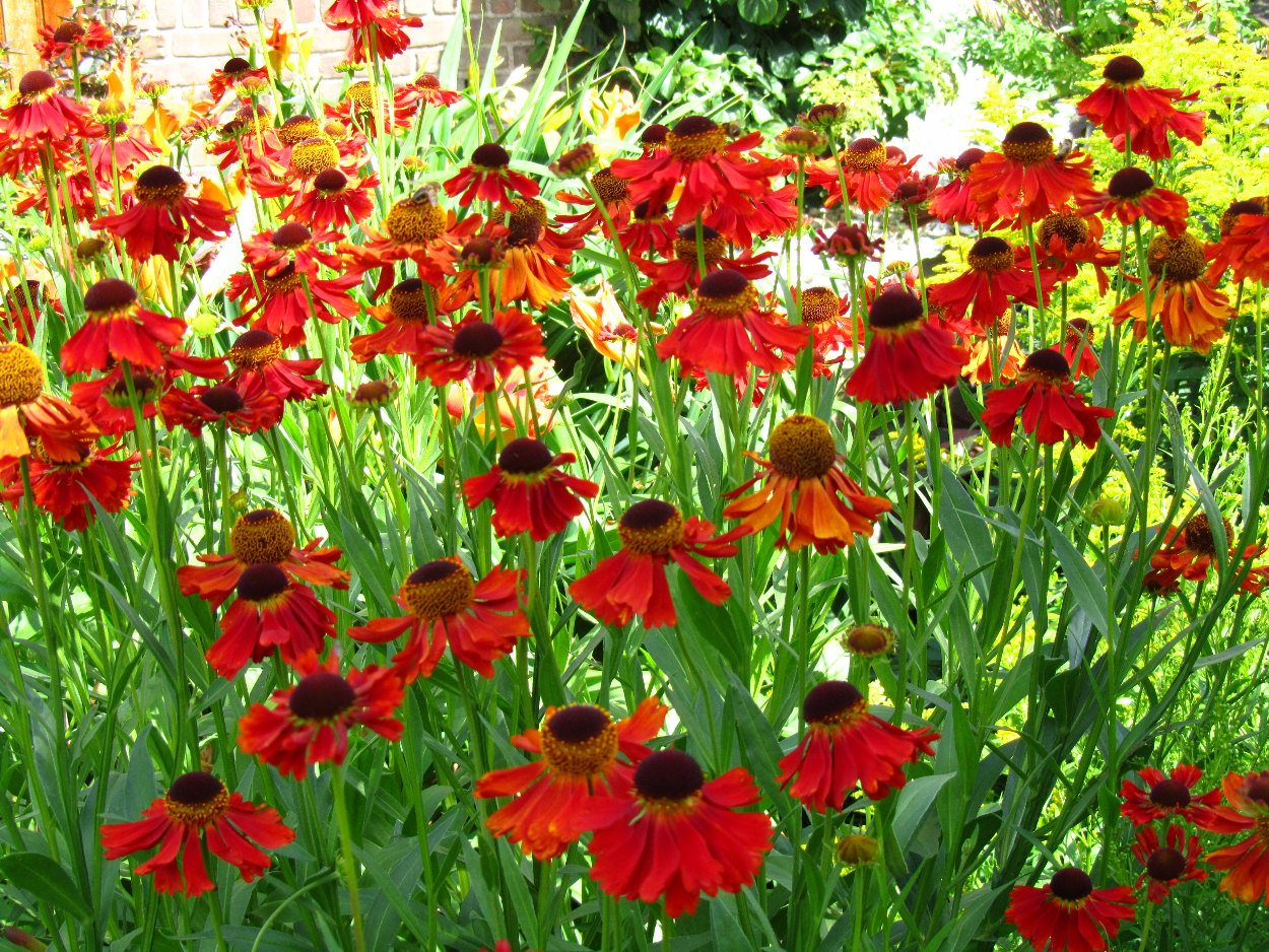 1000 Images About Helenium On Pinterest